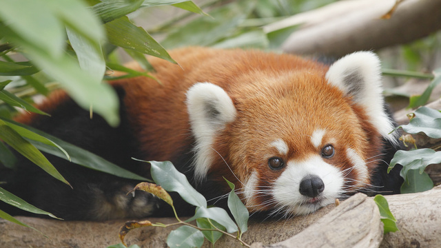 Birmingham Zoo red panda give birth to stillborn cub